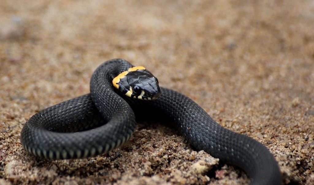 В місті знову побачили змію