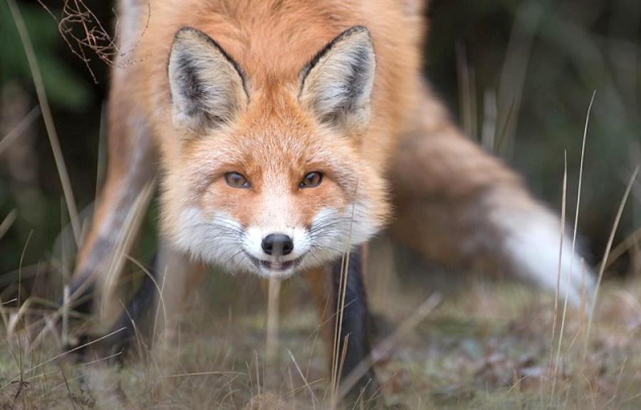 Розпочалась планова імунізація диких тварин проти сказу - Харківський вимір